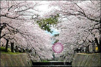 上野公园的樱花(上野公園の桜)