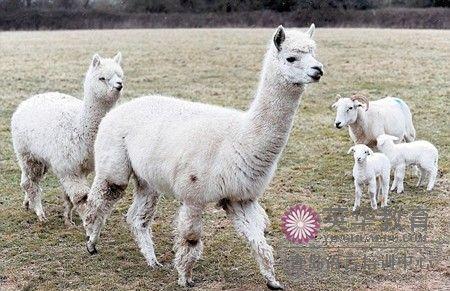 青岛 口译 培训 羊驼新生羊羔的守护神